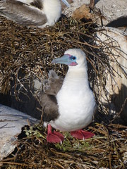 Red footed booby by USFWS Pacific