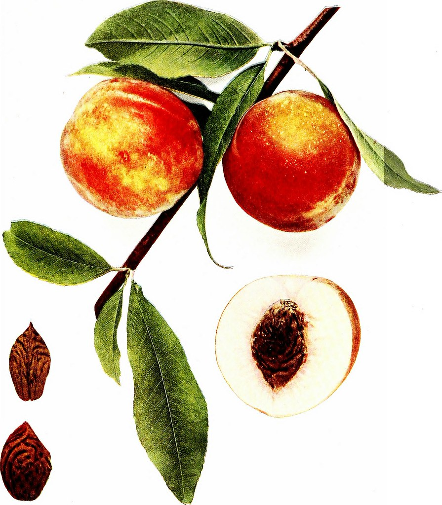 THE PEACHES OF NEW YORK : Report of the New York Agricultural Experiment Station for the Year 1916