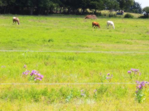 flowers summer usa bluebells rural texas country wildflowers grimescounty texasbluebellwildflowers