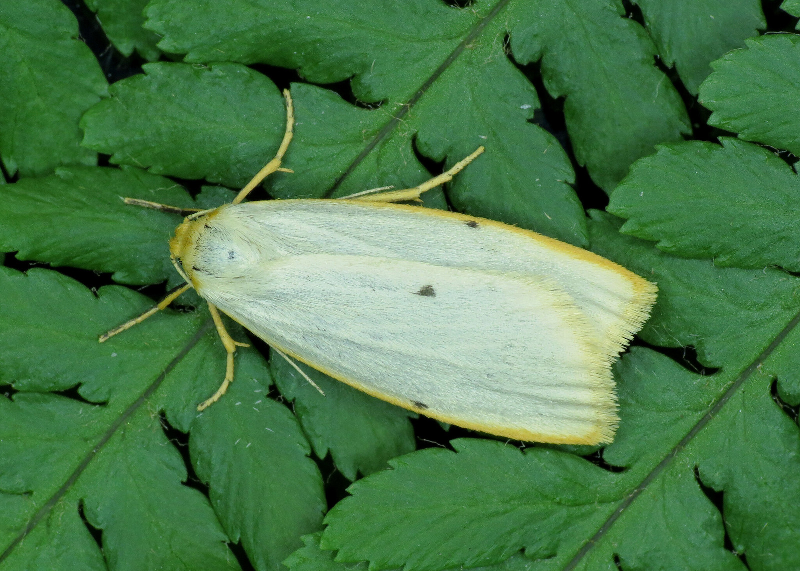 72.038 Four-dotted Footman - Cybosia mesomella