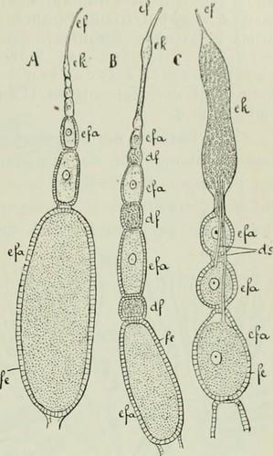 """Image from page 124 of """"Die Forstinsekten Mitteleuropas; ein Lehr- und Handbuch"""" (1914)   by Internet Archive Book Images"""