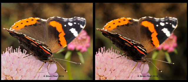 Red Admiral Butterfly - 3d crossview