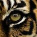Tiger eye by crisallen1