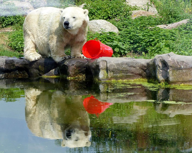 dwarfism Polar Bear Antonia, so beautiful!