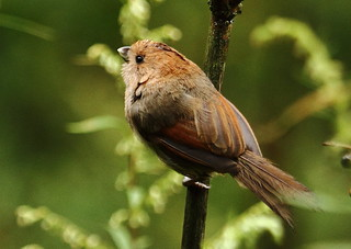 Vinous-throated Parrotbill | by Thomas.Gut