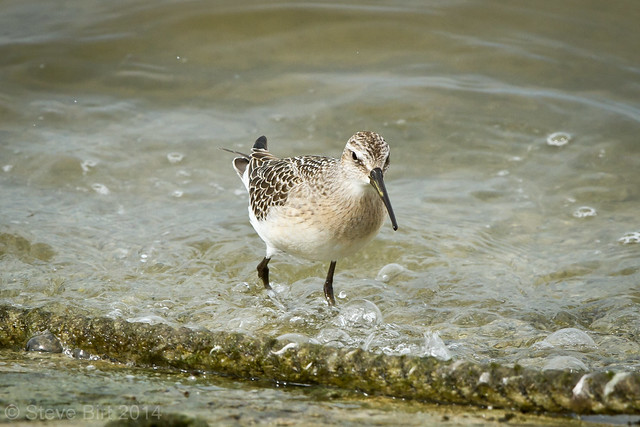 Curlew Sand 007