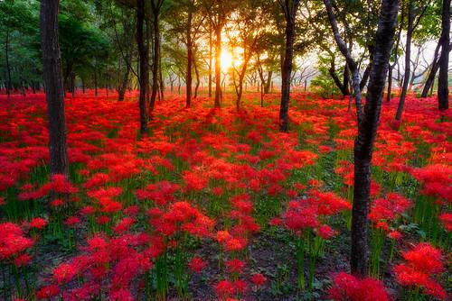 flowers autumn sunset japan saitama 夕焼け 2014 埼玉 彼岸花 曼珠沙華 hidaka redspiderlily 巾着田 kinchakuda 日の入り arcreyes