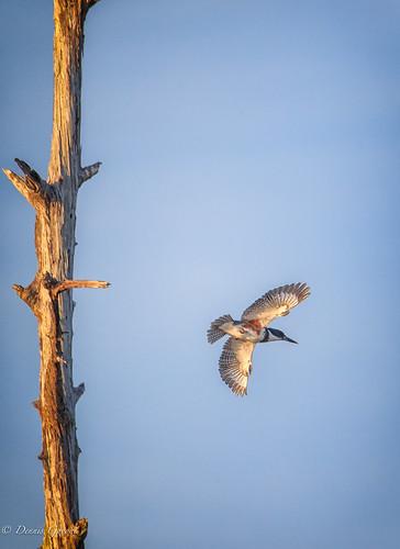 action background bird flight florida kingfisher sunset vierawetlands wildlife melbourne unitedstates us