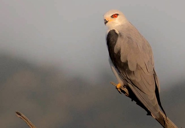 Black Shouldered Kite AD in Pilanesberg South Africa