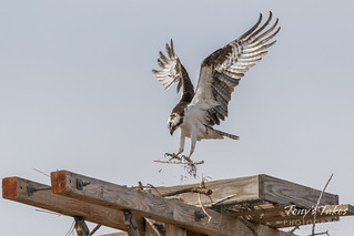 Osprey working on their nest | by TonysTakes