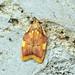 Flickr photo '[0658] Carcina quercana' by: Bennyboymothman.