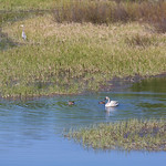 Trumpeter Swan, some ducks, and a blue heron