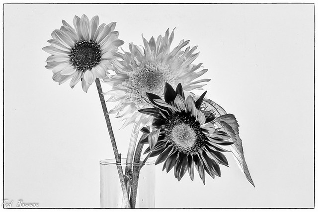 Sunflower  Trio, B&W