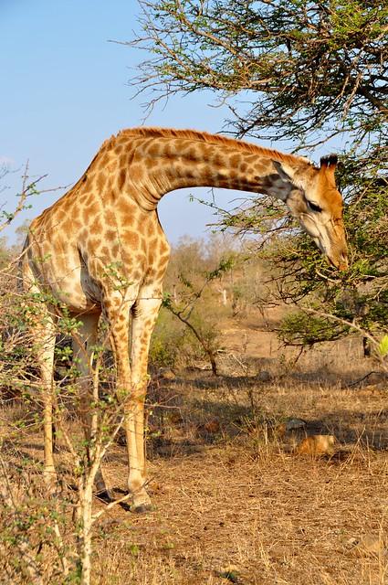 Giraffe - KNP