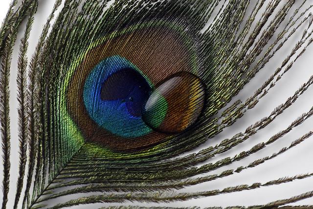 Peacock Drop (D750 CLS Sample)