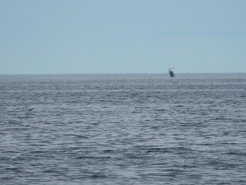 IJsland - Dalvik - whale watching - breaching