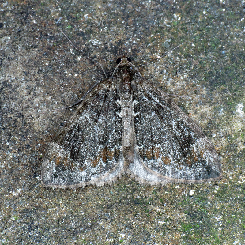 1764 Common Marbled Carpet - Chloroclysta truncata