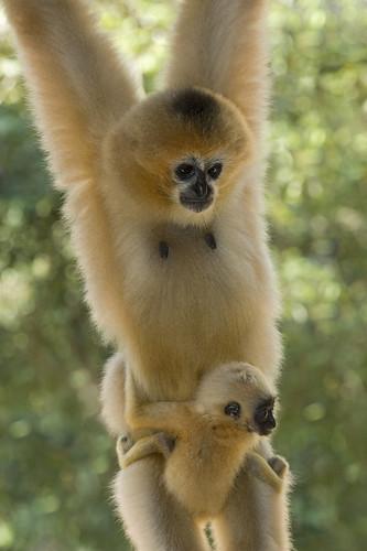 Female white-cheeked gibbon with 2 week baby China
