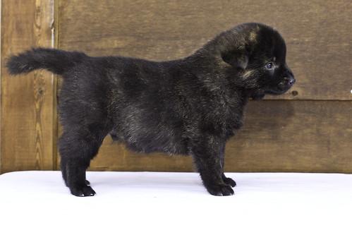 Nori-Litter2-30Days-Puppy5(male)c   by brada1878