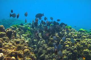 fishes and corals near Phuket              IMG_0620bs | by Phuketian.S