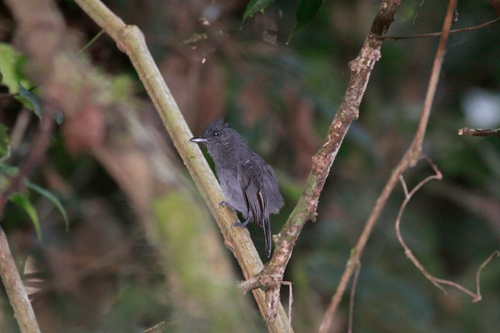 White-shouldered Antshrike (Thamnophilus aethiops)