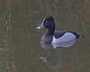 Ring-necked Duck by Keith Carlson
