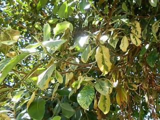 Moraceae Ficus Rubiginosa Variegata Málaga Puente De Flickr