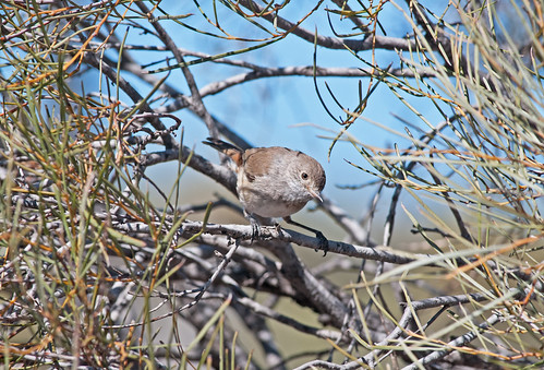 Inland Thornbill (Acanthiza apicalis) | by Brett Backhouse