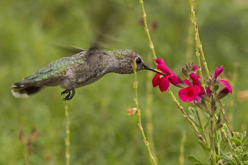bird ave annashummingbird calypteanna colibrídeanna