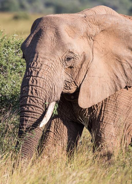 Portrait of an elephant in Pilanesberg Nationalpark, South Africa