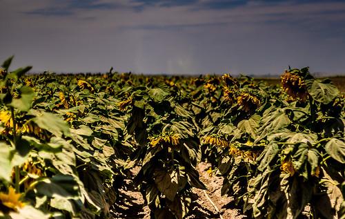 flowers flower nature landscape israel sunflowers sunflower
