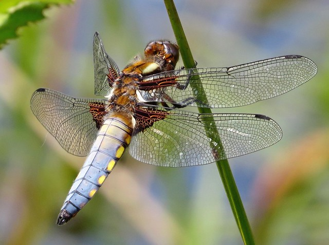 Broad Bodied Chaser Male