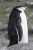 Chinstrap Penguin by RedAbbott