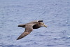 Southern Giant-Petrel by RedAbbott