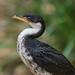 Image: Profile of a Pied Cormorant