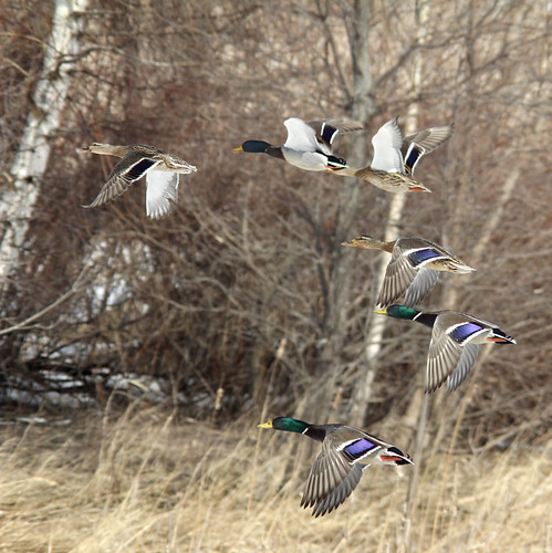 Happy Flight of Mallard Ducks | by jeffreyfoltice