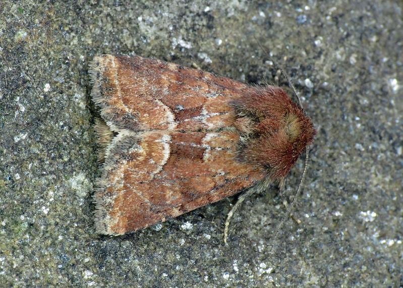 2340 Middle-barred Minor - Oligia fasciuncula