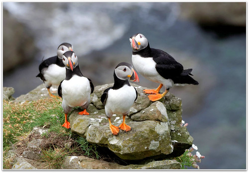 Puffin Quartet on Lunga | by eric robb niven