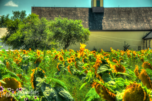 blue chris summer vacation sky white green nature field yellow clouds barn corn nikon farm maine scenic rick sunflowers sunflower hdr bethel fiels d90 18105mm