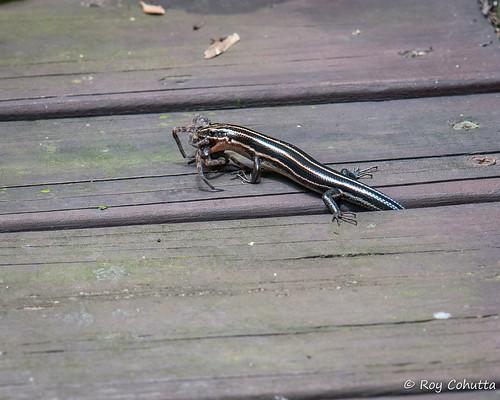 red spider reptile prey predator northgeorgia gilmer ellijay roycohutta