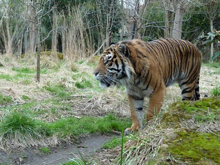 Sumatran tiger on the prowl | by QuirkyMerky