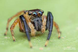 Jumping spider (Pancorius sp.) - DSC_1059
