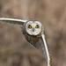 Short Eared Owl by cogs2011