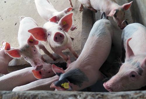 African Swine Fever (05510239) | by IAEA Imagebank