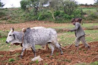 Field Ploughing, Tigray   by Rod Waddington