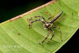 Jumping Spider (Telamonia sp.) - DSC_9572
