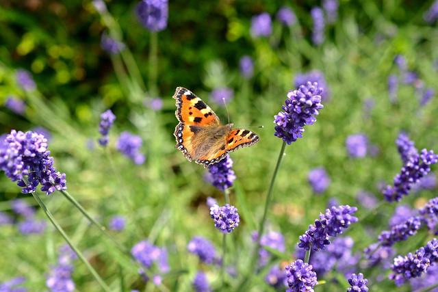 Papillon dans la lavande, Suisse.