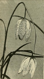 "Image from page 592 of ""The English flower garden and home grounds : design and arrangement shown by existing examples of gardens in Great Britain and Ireland, followed by a description of the plants, shrubs and trees for the open-air garden and their cul 