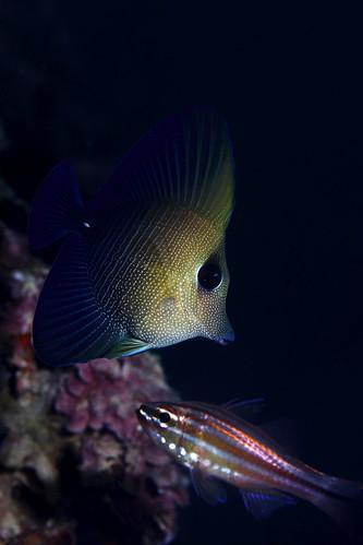 Zebrasoma scopas 小高鰭刺尾鯛