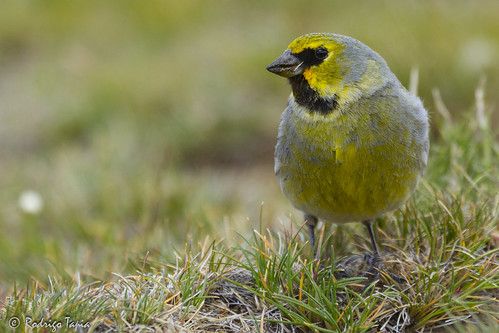 Yellow-bridled Finch, Melanodera xanthogramma | by Rodrigo Tapia